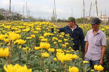 Người trồng hoa hồi hộp chờ tết