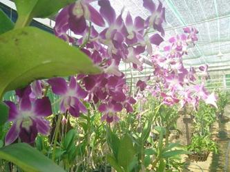 hoa lan phú yên - vườn hoa lan phú yên (những mẫu hoa lan đẹp tại shop hoa lan phú yên)