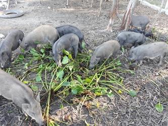 heo (lợn) rung phu yen - Trang trại heo (lợn) rừng phú yên>> chuyên cung cấp giống heo (lợn) rừng , heo (lợn) rừng thịt tại phú yên.
